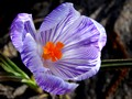 Crocus strié