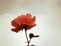 Rose en contre-jour