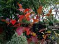 Photo : myrtille en automne